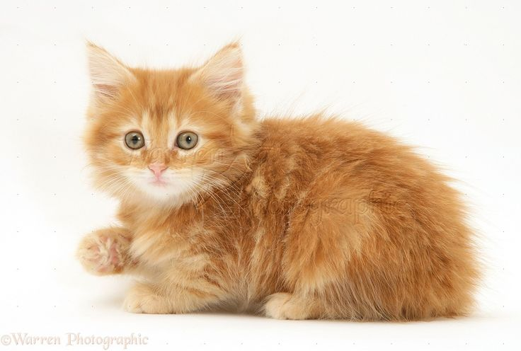 Orange Maine Coon Kitten Image