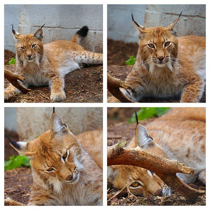 Big Cat Survival Trust #upclose Lynx