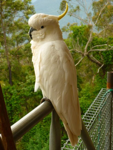 A Sulphur-Crested Cockatoo