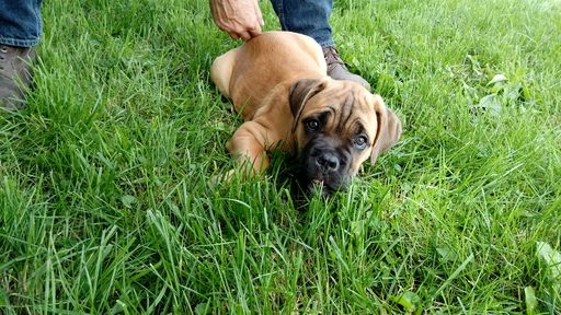 Litter of 2 Cane Corso puppies for sale in DELAWARE, OH. ADN-32347 on PuppyFinder.com Gender: Female. Age: 11 Weeks Old