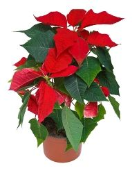 poinsettia euphorbia pulcherrima flowering house plants