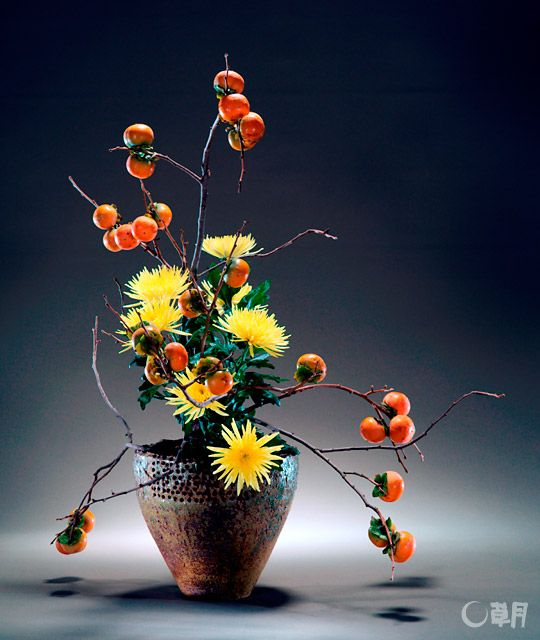 The fruiting kaki branches are drastically trimmed to present the vigor of the lines. A sense of volume and the bright yellow color of the chrysanthemums in the center are highlighted in contrast with the sturdy, solid-looking vase. Material:Kaki, Chrysanthemum Container:Ceramic vase #ikebana #sogetsu