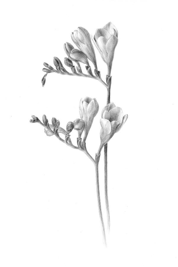 freesia drawing - Google zoeken