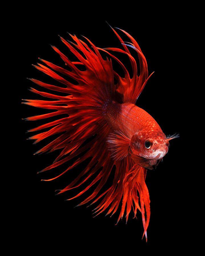 contemplez-la-grace-sublime-des-poissons-combattants-a-travers-leur-danse-envoutante-3