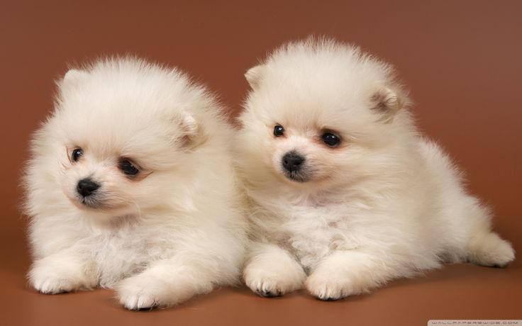 Pomsky Puppies Price | Pomsky Puppies Lovers Club