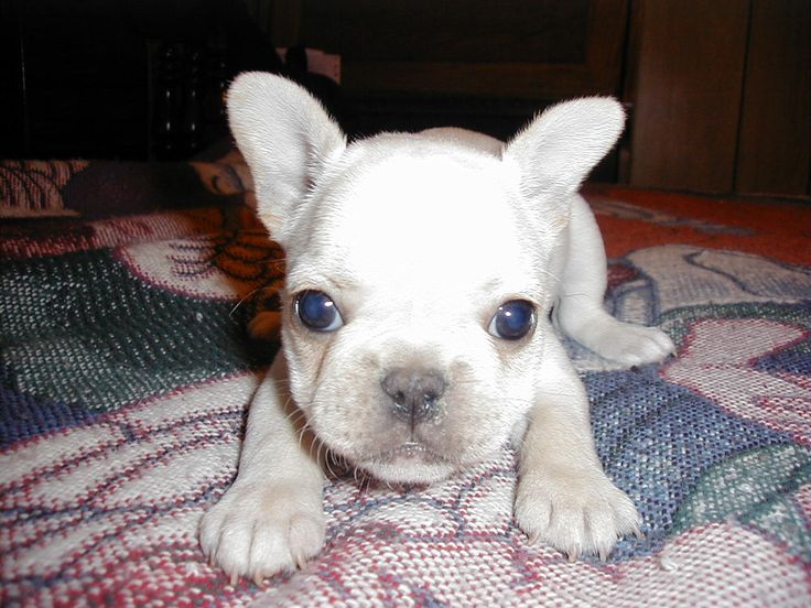 We have 11 pictures of the French Bulldog (puppies) .
