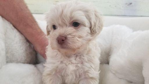 Maltipoo puppy for sale in LA MIRADA, CA. ADN-66522 on PuppyFinder.com Gender: Female. Age: 7 Weeks Old