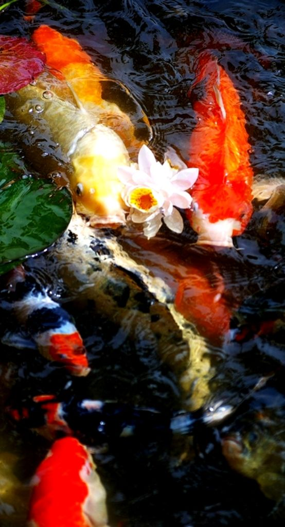 1000 images about goldfish photography on pinterest for Koi und goldfisch