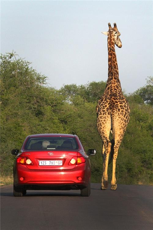 Last Christmas escorted out of my sisters by 8 giraffe :) all i could see walking past my car was legs to knee height. This is not me, but its a good reminder. Was exactly like that
