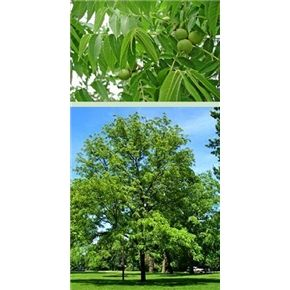 $6.95 - Black Walnut Tree Juglans nigra Height: 50-75' Width: 60' Zones: 4 to 9 Sun Exposure: Full sun