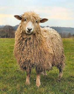 Cotswold Sheep. A long-wooled dual purpose sheep.                              …