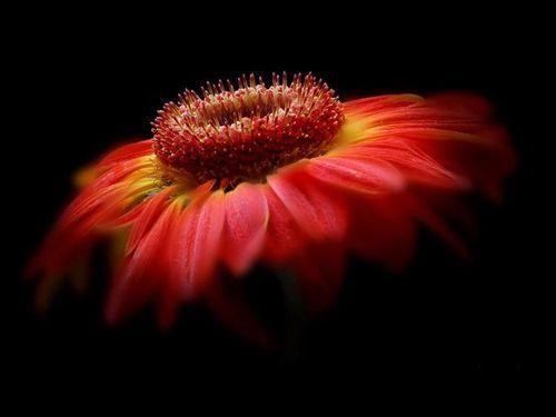 beautiful flower on black