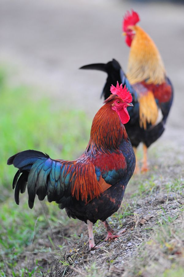 I would own pet chickens that looked like this, only if they aren't mean to me!