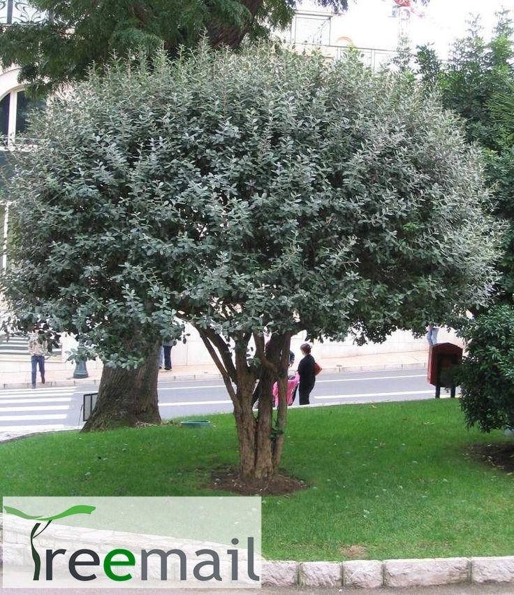 Feijoa sellowiana feijoa sellowiana hedge acca feijoa for Garden trees photos
