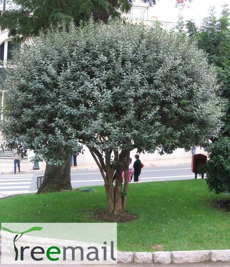 Feijoa sellowiana feijoa sellowiana hedge acca feijoa for Unusual small trees