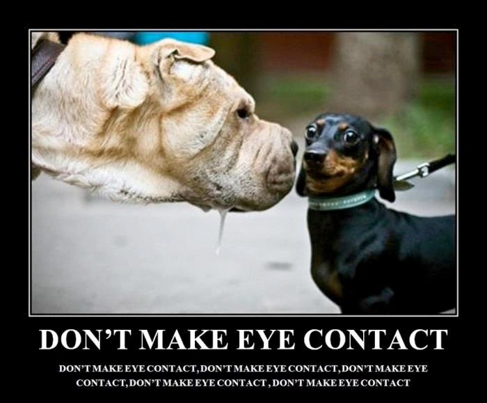 hahaha: Funny Pictures, Eye Contact, Eyecontact, Funny Stuff, Funny Animal, Weiner Dogs, Wiener Dogs, Little Dogs, Big Dogs