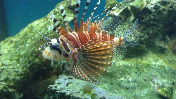 Mr. Zebra lionfish Fuzzy Dwarf Lionfish Pinterest