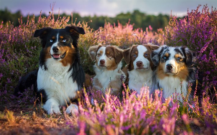 Download wallpapers Aussie, 4k, Australian Shepherd, cute animals, dogs, field