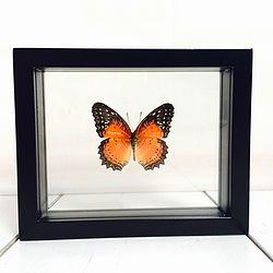 Vlinder in lijst Cethosia Biblis. Deze verfijnde lijst met dubbel glas bevat een uit China afkomstige Cethosia Biblis vlinder. Het betreft hier de man.