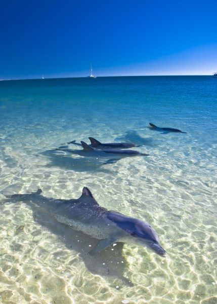 Monkey Mia is a popular tourist destination located about 800 km north of Perth, Western Australia.   The main attraction is the daily feeding of the bottlenose dolphins that have been coming close to shore for more than forty years.
