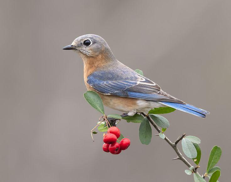 Bluebirds wallpaper birdwatching in 2020 blue bird art