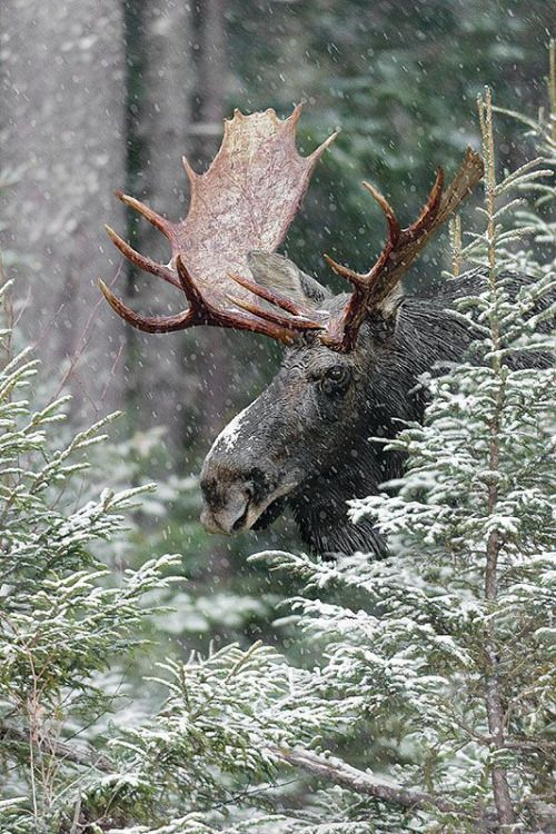 Moose antlers in the snow