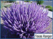 Texas Ranger  I think it's a sage. good plants for desert plantings.