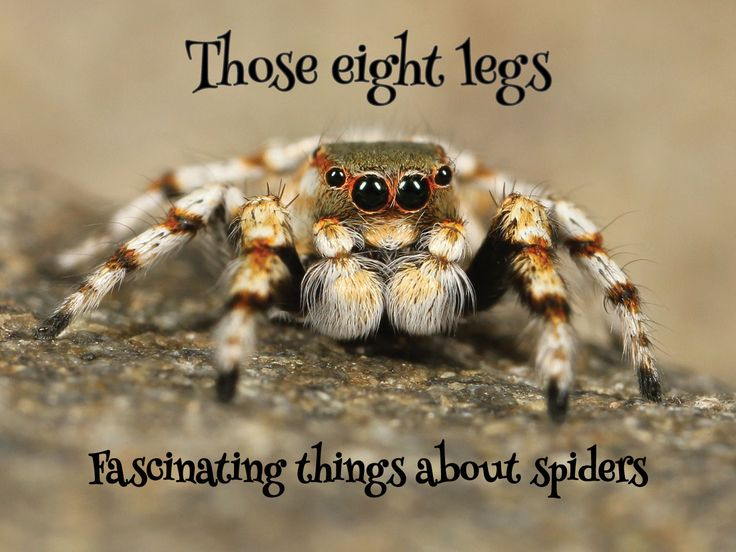 Those Eight Legs - Fascinating facts about rain spiders. #pets #spiders https://petztrax.wordpress.com/2015/08/24/those-eight-legs/