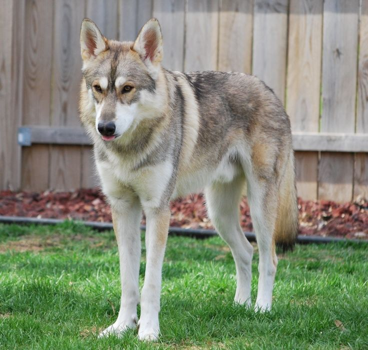 The Tamaskan dog. A very wolf-like dog which is what I love about it. :)