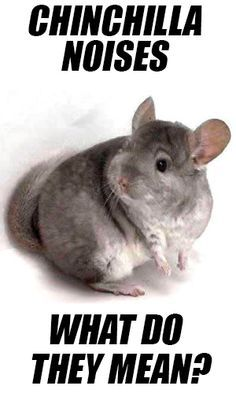 Chinchilla Noises – What do they mean?                                                                                                                                                                                 More