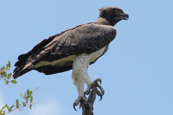 Martial eagle | Kruger National Park | Pinterest