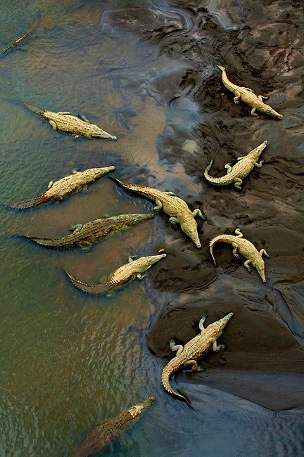 "earthlynation: "" Crocodiles. Photo by Anthony John Coletti "" My god what a gorgeous photo"