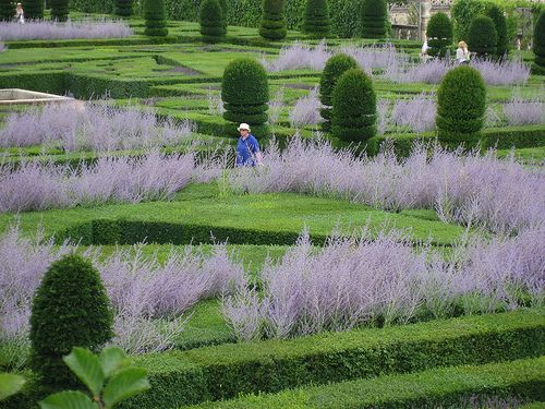 Perovskia (Russian Sage) within clipped box and formal topiary    Chateau Villandry, VILLANDRY, FRANCE