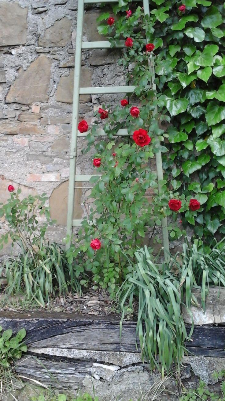 Rose rampicanti su una vecchia scala di legno dipinta di verde