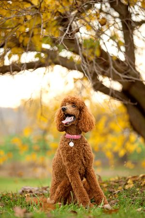 Red Standard Poodle, Lucy   sara riddle