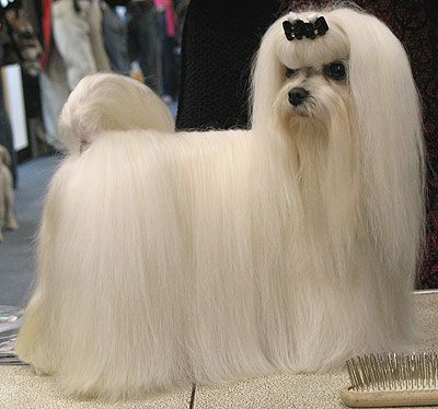 The Maltese is a small breed of dog in the toy group. It descends from dogs originating in the Central Mediterranean Area . The br...