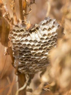 Ne pas tenter de déloger un nid de frelons soi-même : Ces astuces et remèdes…