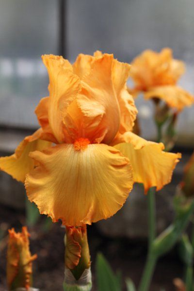2645 Best Iris Images By Bunnie George On Pinterest