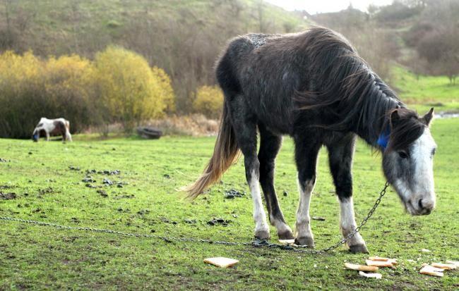 New hope for abandoned Fens Pool horses (From Stourbridge News)