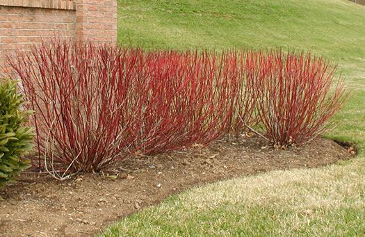 Red twig dogwood shrub- known for it's red bark in the winter, also has beautiful silvery green leaves in the summer. This shrub gets pretty big (some varieties up to 10 feet tall if not prunned), likes sun/part shade, and actually does pretty well in water boggy areas.