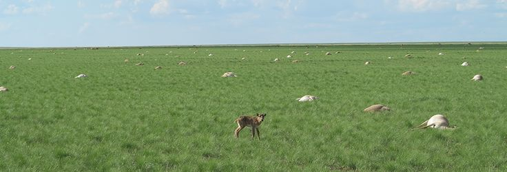 Sudden Deaths For Endangered Antelopes | The saiga -- a tawny, bulbous-nosed antelope -- has roamed the Central Asian steppe since the days of the woolly mammoth, but hundreds of thousands died this past spring in a matter of days. Now wildlife health experts think they've found the culprit and climate change may have been an accomplice. | Living on Earth ~ PRI