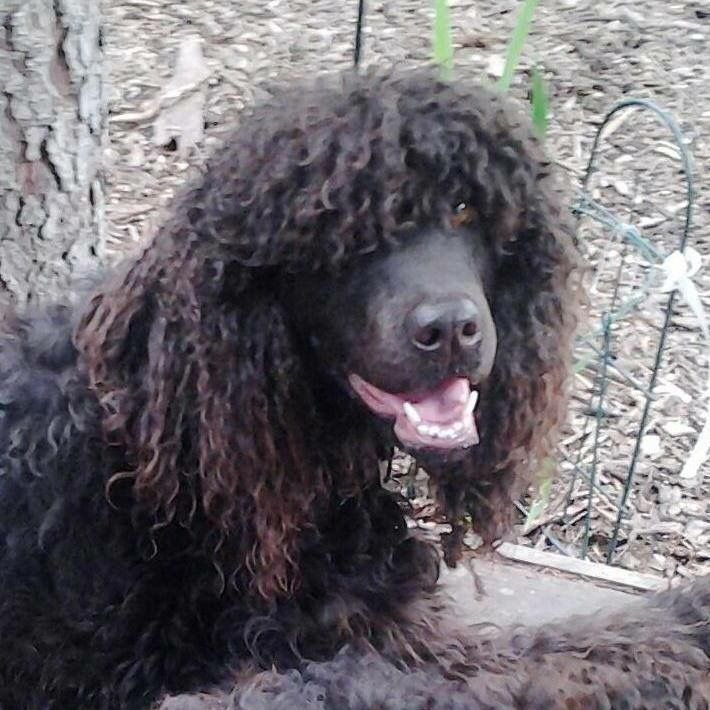 Eugenie the Irish water spaniel