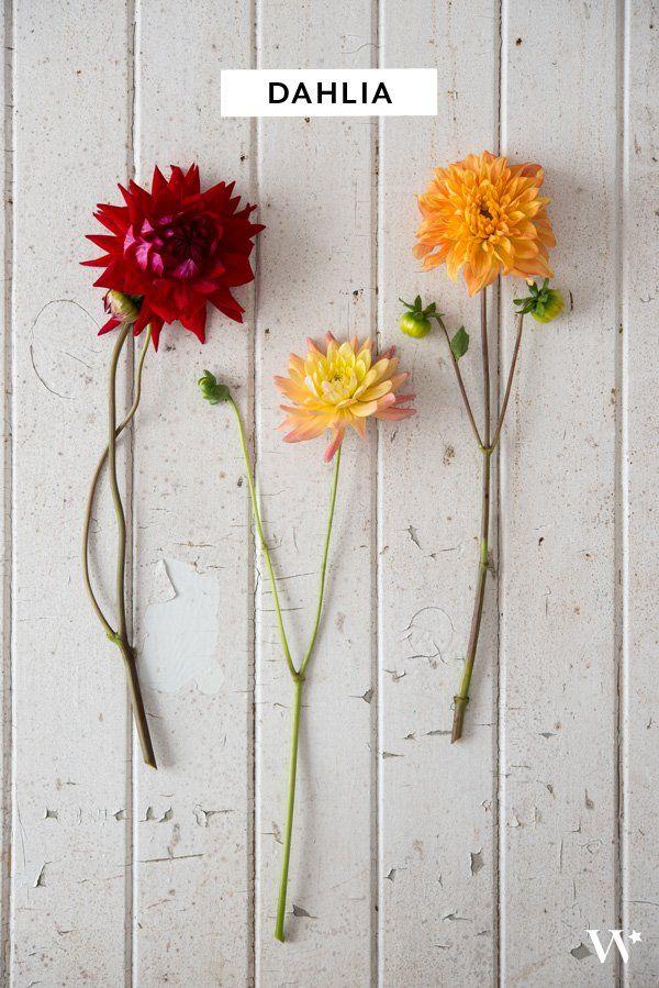 dahlia & chrysanthemum