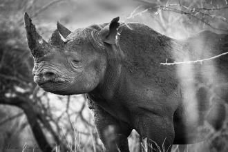 The rhino horn ban has been lifted in South Africa....this is a step backwards for conservationists and our rhinos. Image by Alex Roldan. #conservation #rhino #southafrica #horn #ban #policy #environment #wildlifecrime #poaching