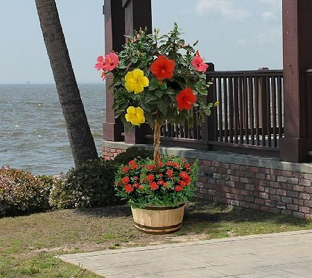 Cottage Farms 3 In 1 Braided Tropical Hibiscus Tree