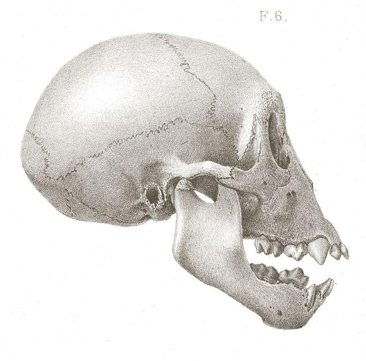 95 best GORILLA ANATOMY images on Pinterest | Animal anatomy, Animal ...