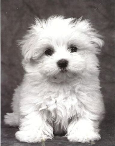 My precious Maltese breed. I dream about my Lily all the time, worrying about her welfare.