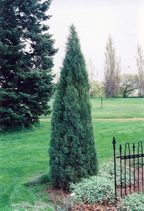 122 Best Images About Narrow Trees And Shrubs On Pinterest Sun Thuja Occidentalis And Form Of