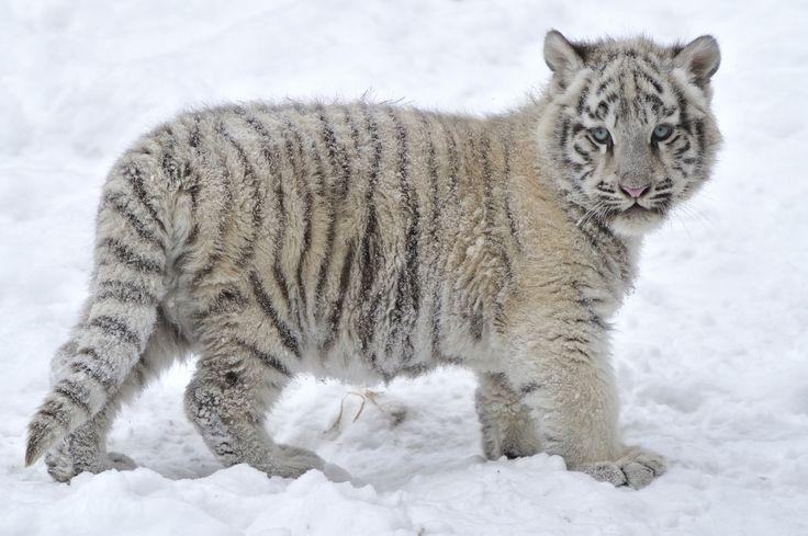 White tiger hd snow