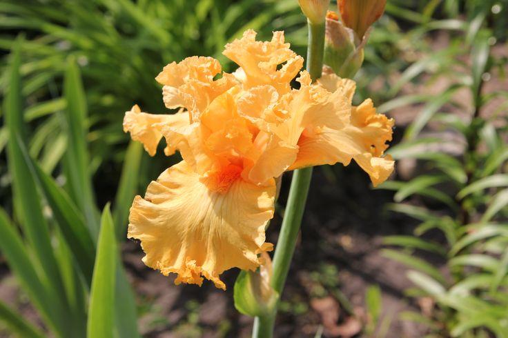 Amplified  (Ghio'2000  США) HM'02  L; VL  90 Гофрированный и широкий. Чудеснейший желто-оранжевый с красными оттенками в ст., светлым мазком вокруг оранжевых бородок на фолах.  ((Quito x (Mogul sib x Bogota sib)) x Forbidden Fruit) X Cordoba sib
